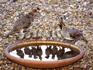 Quail Family Gathering
